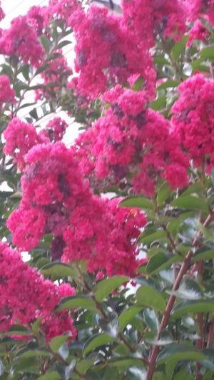 Red Myrtle