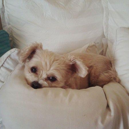 愛犬 Bag Cute 埋もれたがり 布団だいすき眠い寝そう気づかれた