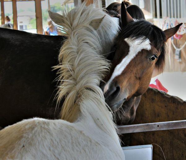 Horses Pet Portraits Animal Themes Close-up Day Domestic Animals Horse Indoors  Livestock Mammal No People Pet Portrait Yingyang