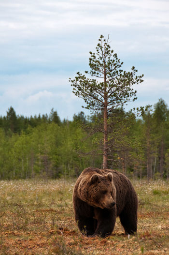 Bear Animal Themes Animal Wildlife Animals In The Wild Brown Bear Day Mammal Nature No People Outdoors