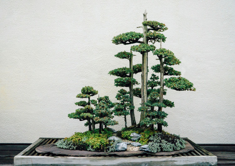 Bonsai growing on table against wall