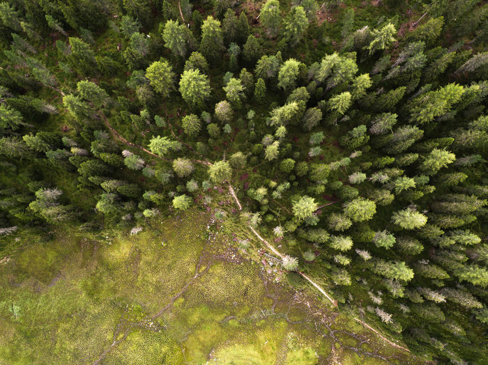 High angle view of pine tree in forest