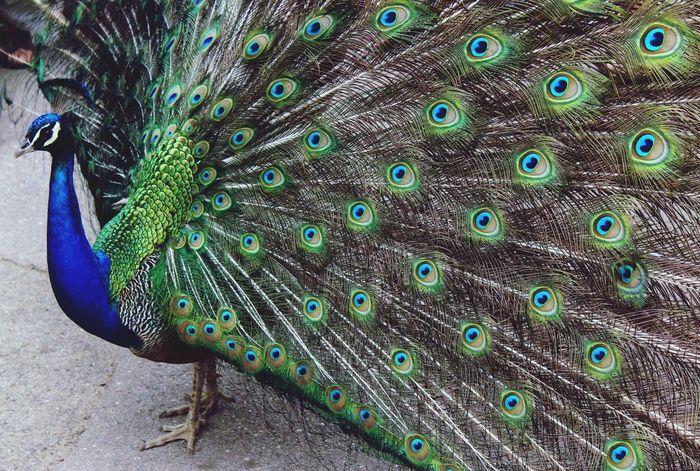 Amazing animal Barcelona Zoo Pavone Colors Colorful Grace Elégance Elegant Class Amazing Wonderful Animal Birds Animal Themes One Animal Nature