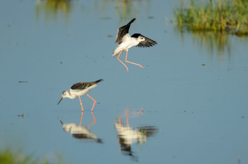 Black-winged Stilt (Himantopus himantopus) in Neusiedler See National Park Austria Black-winged Stilt Himantopus Himantopus Lange Lacke National Park Neusiedler See Animal Animal Wildlife Animals In The Wild Bird Flying Lake Nature Outdoors Reflection Water Wildlife