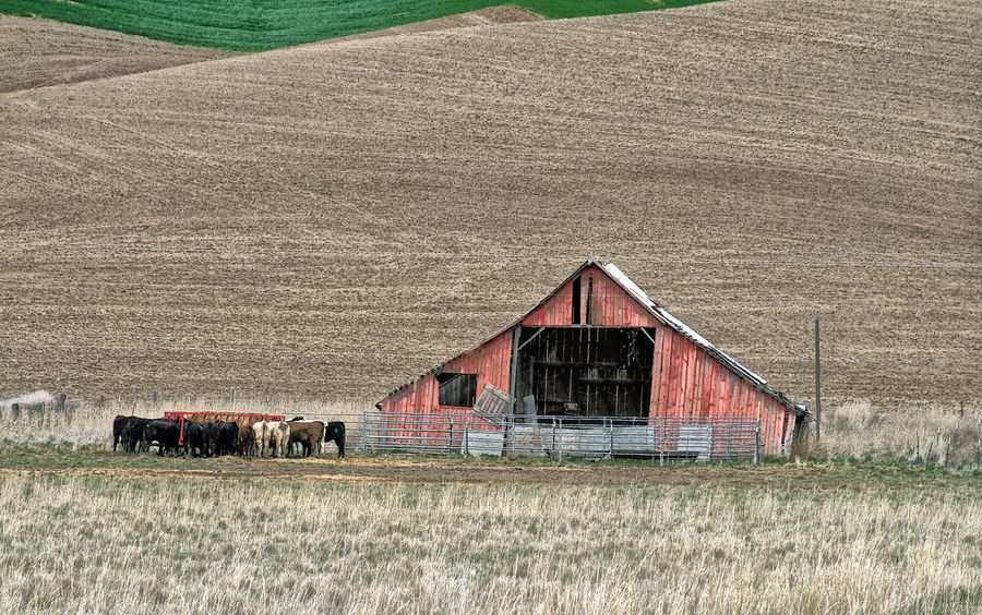 Eastern Washington Farm Scene Agricultural Building Agriculture Architecture Barn Building Building Exterior Built Structure Day Farm Field Grass House Land Landscape Nature No People Outdoors Plant Residential District Rural Scene