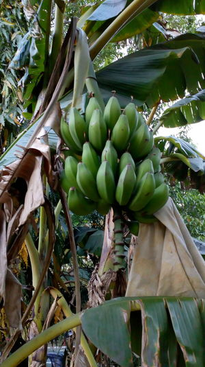 Banana Tree Grenn Foodphotography Fruits And Foods Healthy Eating Leaves Only Leaves Banana Shake