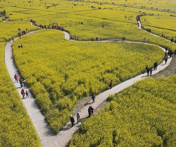🌻채 낙동강유채꽃축제 부산여행 출사 부산낙동강유채꽃축제 유채꽃 작년 하트 꽃 빈카메라 Pusan Busan Travel Trip Journey RapeFlower Flower Heart Bincamera
