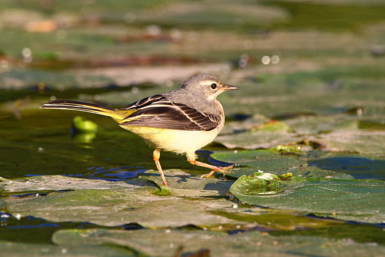Close-Up Of Bird Walking On Leaf In Water