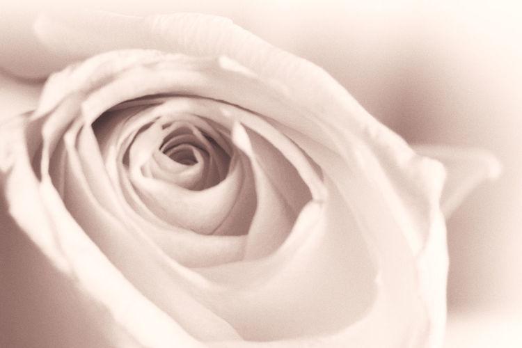 Pink Soft Soft Light Beauty Beauty In Nature Close-up Flower Flower Head Fragility Freshness Nature Petal Pink Color Rose - Flower Rose🌹 Soft Focus Softness