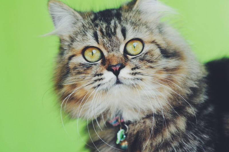 EyeEm Selects EyeEmBestPics Mood Illustration Pets Portrait Feline Looking At Camera Domestic Cat Cute Whisker Close-up Persian Cat  Animal Eye Siamese Cat Animal Head  Animal Nose Animal Hair Green Background Yellow Eyes Kitten HEAD Animal Face Eye