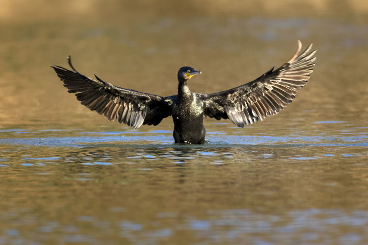 Cormorant drying wings, the drava river