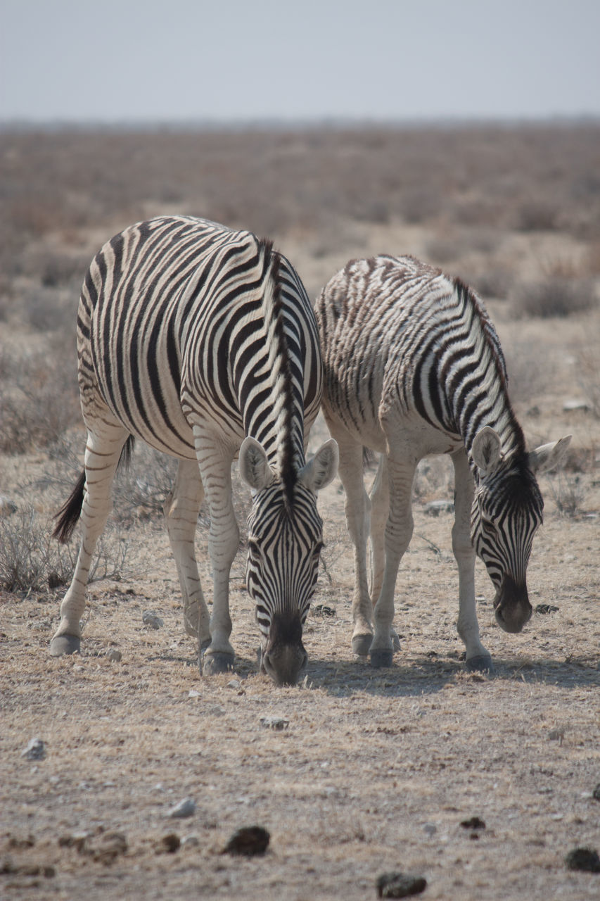 Two Zebras Grazing In Desert