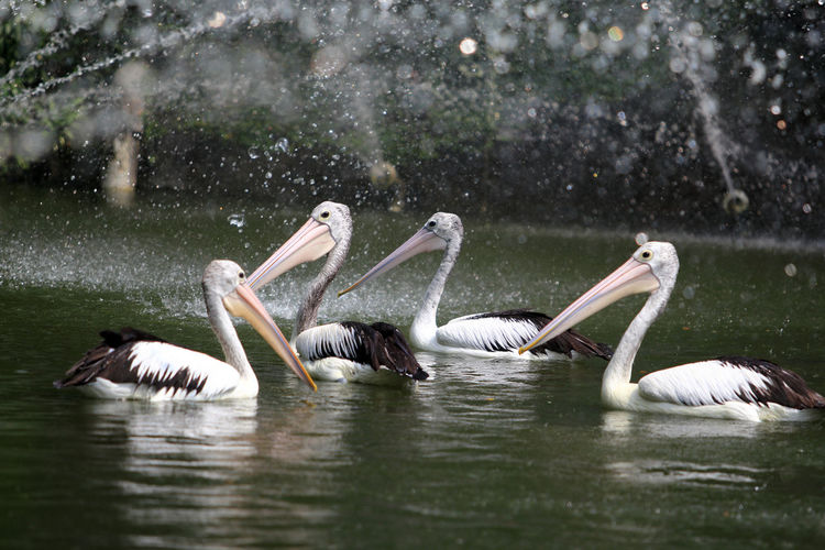 Pelicans swimming on fountain