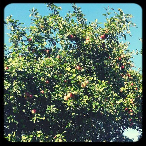 Kā teiktu Janeta - ābolīši