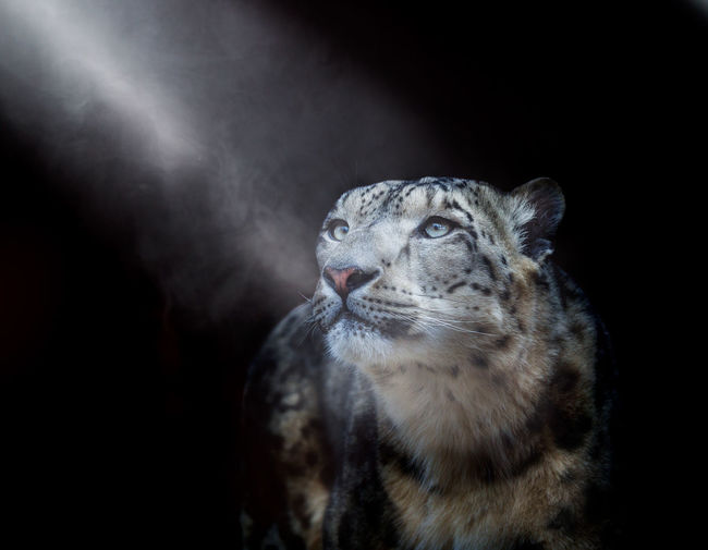 Close-up of snow leopard looking away at night