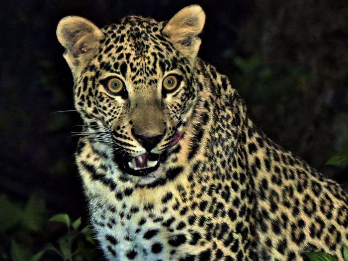 the late night traveller Animal Animal Themes Animal Wildlife Animals Animal Head  Wildlife Wild Wildlife & Nature EyeEm Nature Lover EyeEm Best Shots Sunset_collection Nikon Nature Nainital Leopard Portrait Looking At Camera Spotted Close-up Big Cat Animal Markings Endangered Species