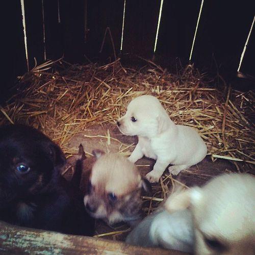 собачата щеночки четыче_щеночка собачки Dog Puppy Pup , собака привела четыре щенка черного коричневого и двое белых_щенка с нежно персиковым оттенком на голове :)