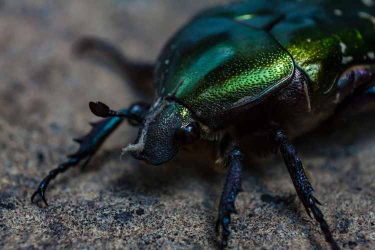 June beetle Animal Themes Animal Wildlife Animals In The Wild Beetle Bug Close-up Green Green Color Nature No People One Animal Outdoors