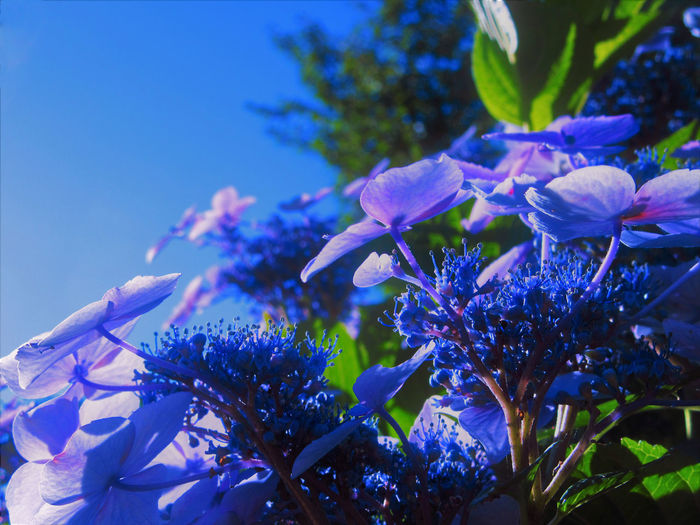 Hydrangea Plant Blue Close-up Flower Flower Head Nature No People Outdoor Photography Outdoors Petal Plant Sky Sunlight