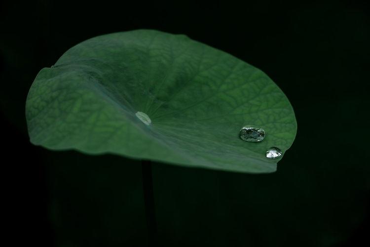 Lotus菏叶 Green