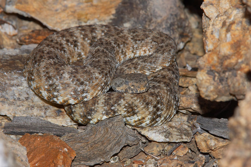 Animal Themes Animal Wildlife Animals In The Wild California Crotalus Mitchellii Pyrrhus Danger Dangerous Dangerous Animals Day Nature No People One Animal Outdoors Reptile Southwestern Speckled Rattlesnake Speckled Rattlesnake Venomous Venomous Snake