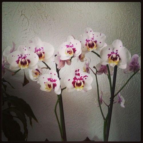 ma magnifique orchidee avant qu elle perde toute ses fleurs :( Fleurs Orchidee Plante Nature Flower Maladie SOIN Entretien Aide Conseil