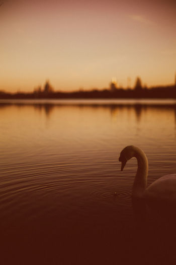 Swans Animal Themes Animals In The Wild Beauty In Nature Bird Close-up Day Lake Maschsee Nature No People One Animal Outdoors Reflection Scenics Silhouette Sky Sunset Swan Swimming Tranquil Scene Tranquility Water Water Bird