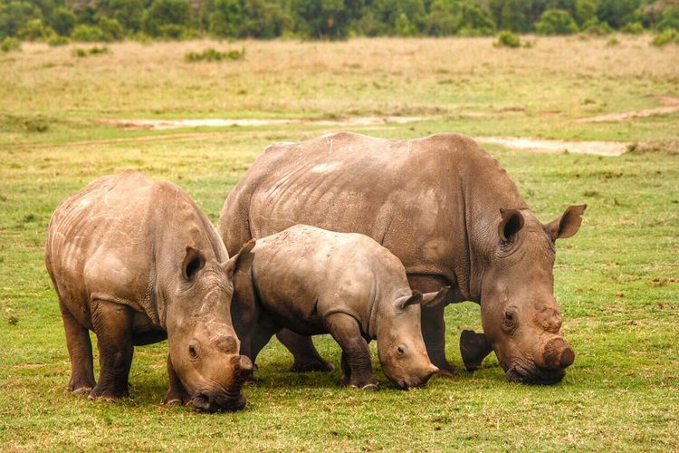 A Rhino Family Rhinoceros Rhino Trio Familyofrhino Rhino Family Family Savetherhinos FamilyTime Love Protect Africanwildlife African Beauty Nature Nature_collection Nature Photography Lucky Chilling Canonphotography