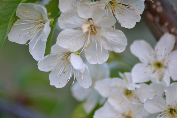 Close-up Flower Nature Beauty In Nature Blossom Flower Head Growth Freshness No People Outdoors Fragility Plant Tree Day Sweet Cherries The Purist (no Edit, No Filter) Stark Crimson Sweet Cherry Blooms Springtime