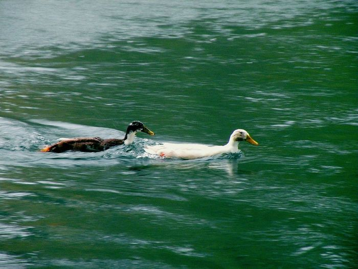 Little Duckies Swimming Up Stream Clackamette Park Oregon City