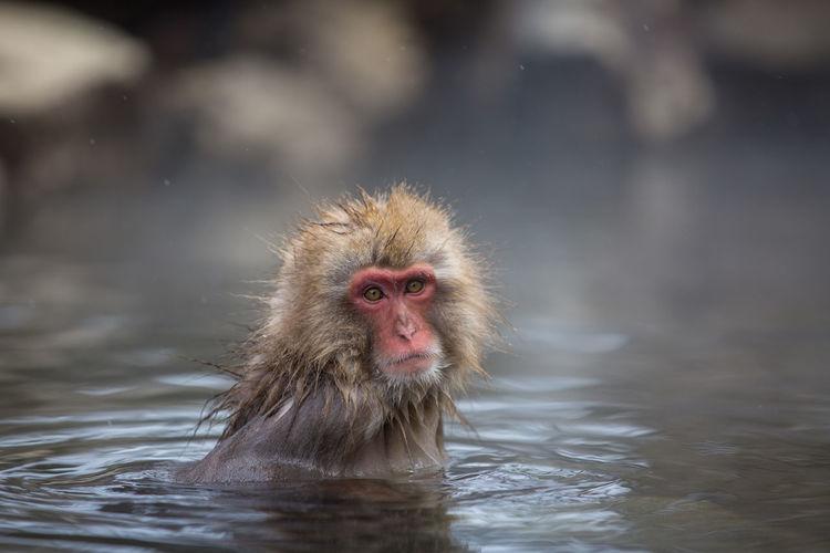 Close-Up Portrait Of Monkey In Hot Spring