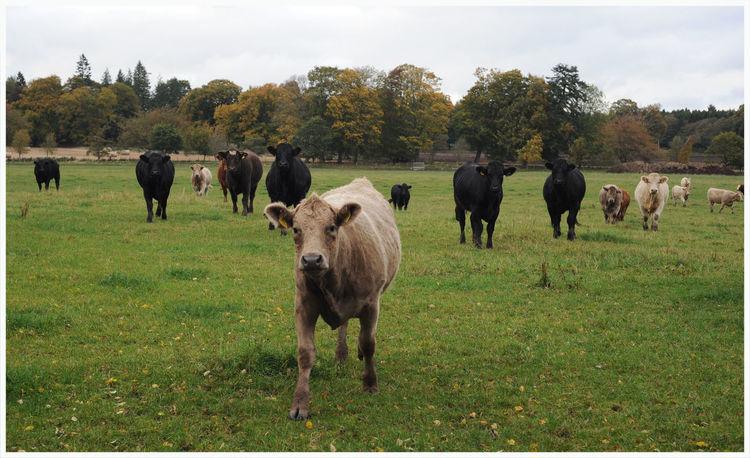 EyeEm Selects Cows Grazing trees Backgrounds Freshness field Farming Dairyfarming Herd Autumn