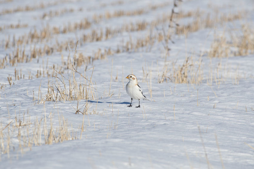 Snow bunting Animal Themes Animal Wildlife Animals In The Wild Beauty In Nature Bird Cold Temperature Day Nature No People One Animal Outdoors Plectrophenax Nivalis Snow Snow Bunting White Color Winter