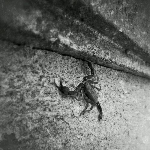 Blackandwhite No Edit No Fun EyeEm Best Edits Scorpion