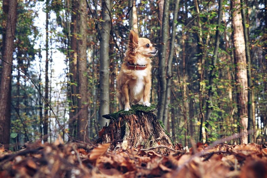 The Forest Nature Chihuahua Dog Forest Tree Animal Themes Outdoors Beauty In Nature EyeEmNewHere