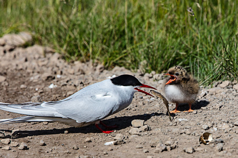 Animal Animal Themes Animal Wildlife Bird Animals In The Wild Group Of Animals No People Nature Field Focus On Foreground Outdoors Eating Food Sunlight Close-up Feeding  Mouth Open Day Land Iceland, Artig Tern, Feed, Baby, Newborn Chick Fish,