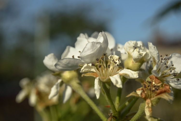 Plant Flower Flowering Plant Growth Beauty In Nature Vulnerability  Fragility Freshness Close-up Petal Flower Head Nature Inflorescence White Color Day No People Garden Photography Spring Flowers Selective Focus Focus On Foreground Sunlight Outdoors