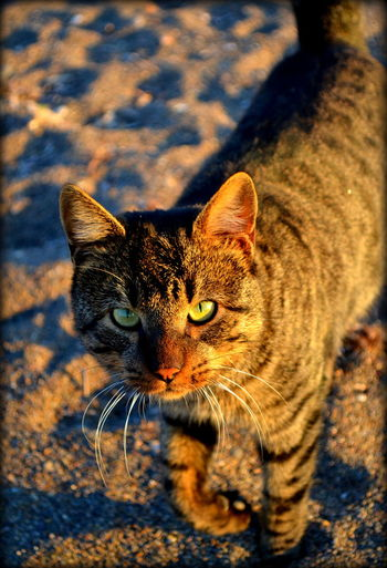 Shadows & Lights Walk In The Sand Cat Cat On Beach Golden Hour Hunting Eyes Hunting Mood Intense Eyes Orange Color Paws Purr Sand Sunset Cat Sunset Catcher Wild Cat Wildlife Yellow Eyes