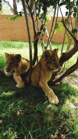 Animal Themes Nature Animal Wildlife Animals In The Wild Reserve Naturelle Nursery Senegal Young Animal Grass Lion - Feline incredibble meeting with this two baby 🦁🦁