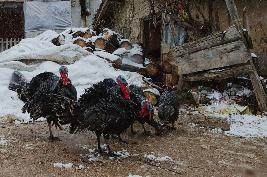 Turkey Run Animal Themes Bird Birds Chicken - Bird Chirstmas Christmas Dinner Cockerel Day Domestic Animals Feathers Hen Livestock Mammal No People Outdoors Pets Poultry Rooster Sünnetköy Thanksgiving Thanksgiving Dinner Turkey Sandwich Turkey ♡ Turkeys Village Life