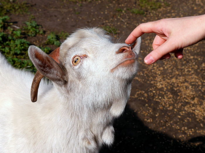 Close-up of hand touching goat