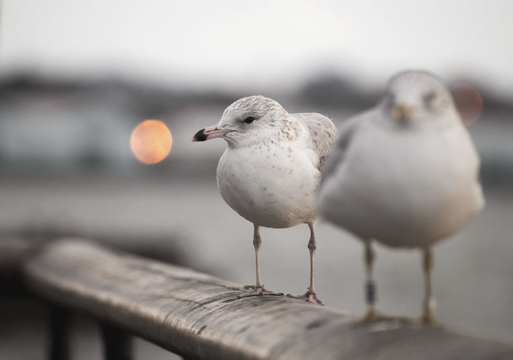 versione meno satura Bird Animal Wildlife Group Of Animals Animals In The Wild Vertebrate Perching Two Animals Selective Focus Day Seagull No People Nature Sea Close-up Outdoors Wood - Material Full Length