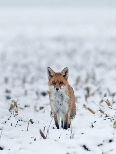 Portrait of fox standing on snow