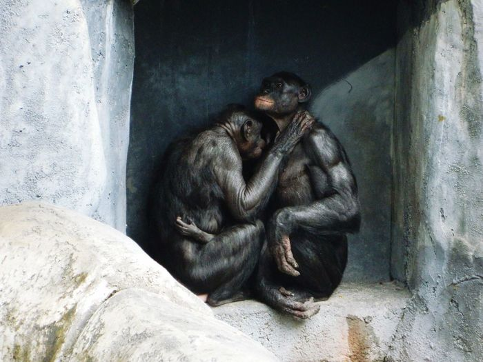 Bonobos sitting in niche at zoo