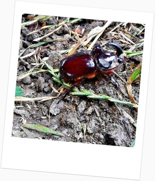 Beatle Insect Photography Insects  Insects Collection Male Karpaty Nature Nosoroztek Obycajny Oryctes Nasicornis