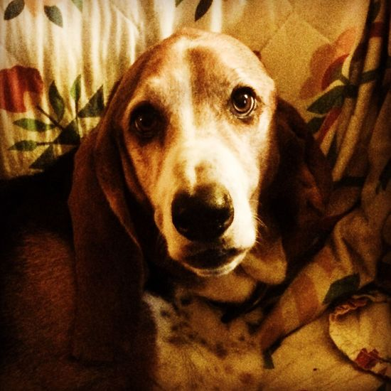 My Cooper bear Enjoying Life Posing For The Camera Iphonephotography Color Portrait Colorphotography LovingLife Senior Bassethound Bassetphotography Bassetmoments Luvthisboy
