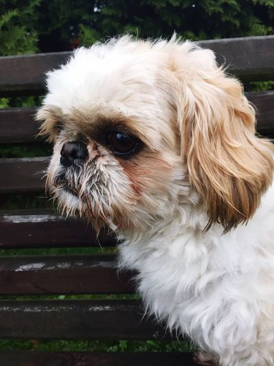 Dog Shih Tzu Outdoors