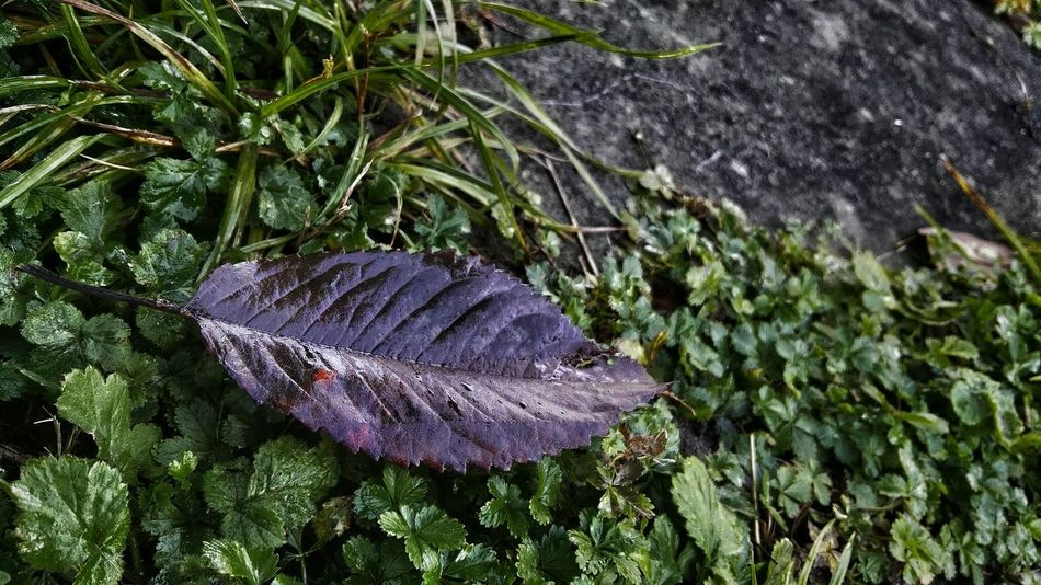 Purple Wet Leaf Fresh Outdoor Photography Beauty On A Rainy Day Rainy Day Autumn Colors Outdoors Autumn Nature Decentral Focused
