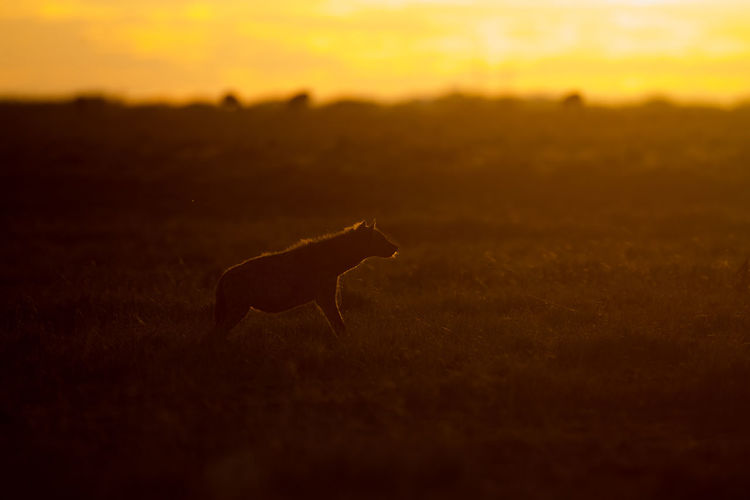 View of a horse on field during sunset