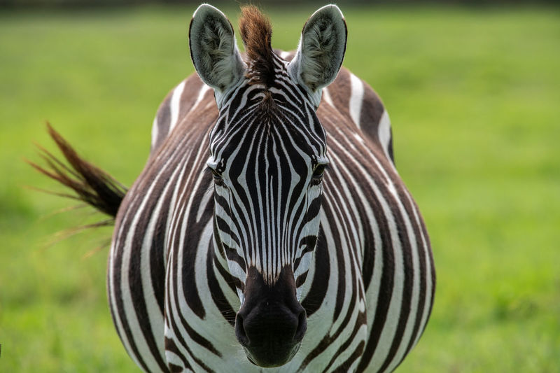 Close-up portrait of a zebra
